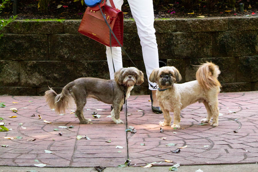 red bag and 2 shih tzus